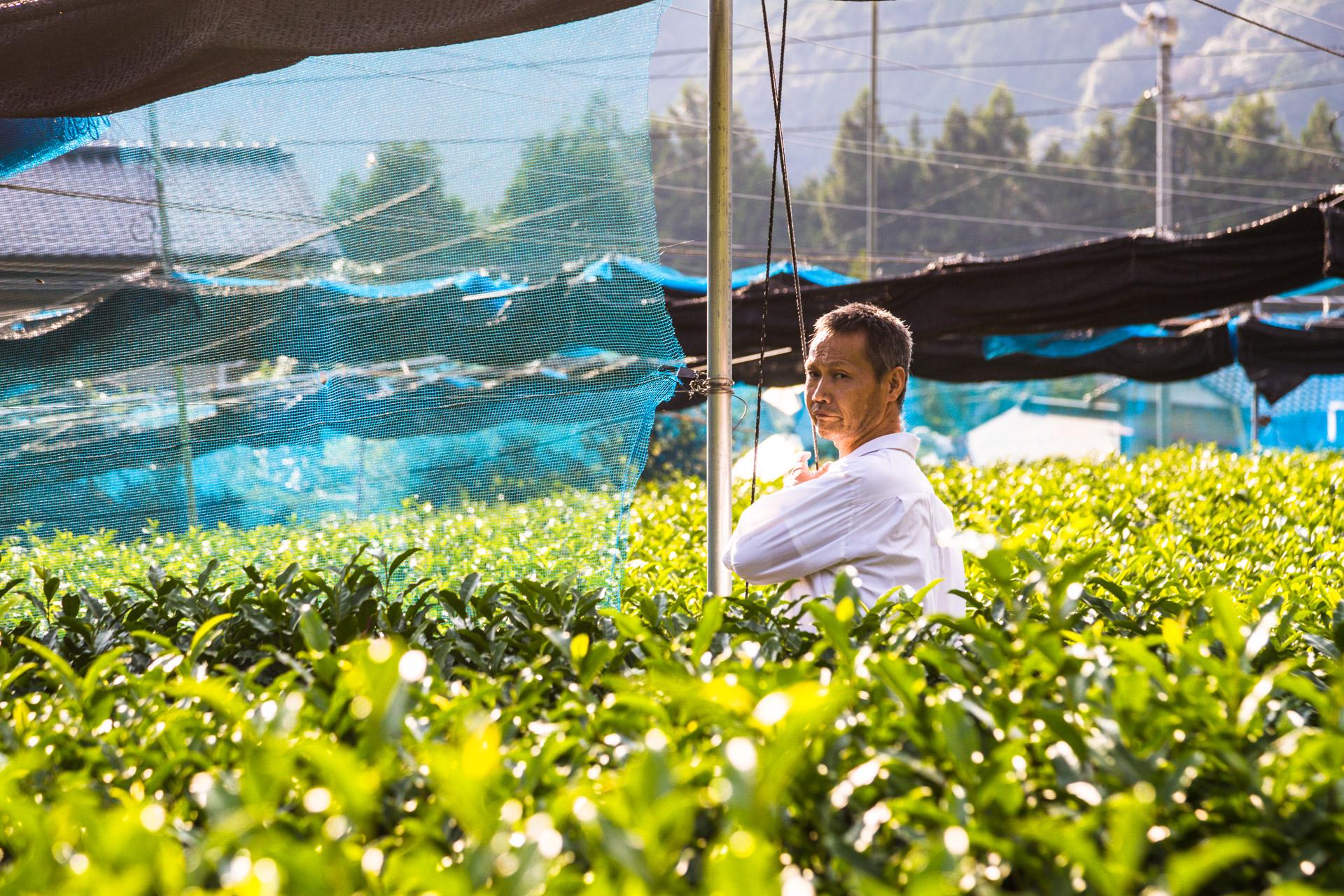 Japanese Green Tea Farm of Shizuoka, Japan