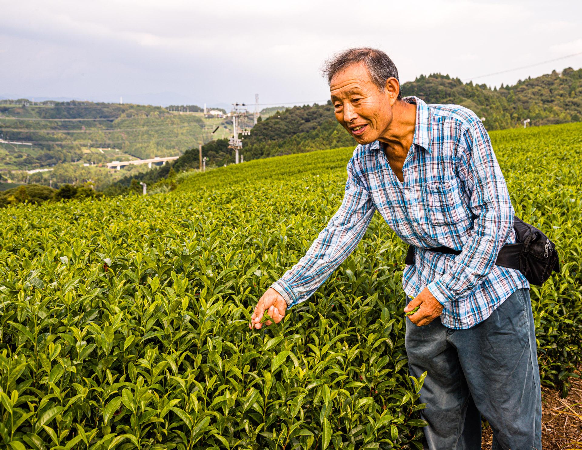 Tea Plantation in Kakegawa, Japan