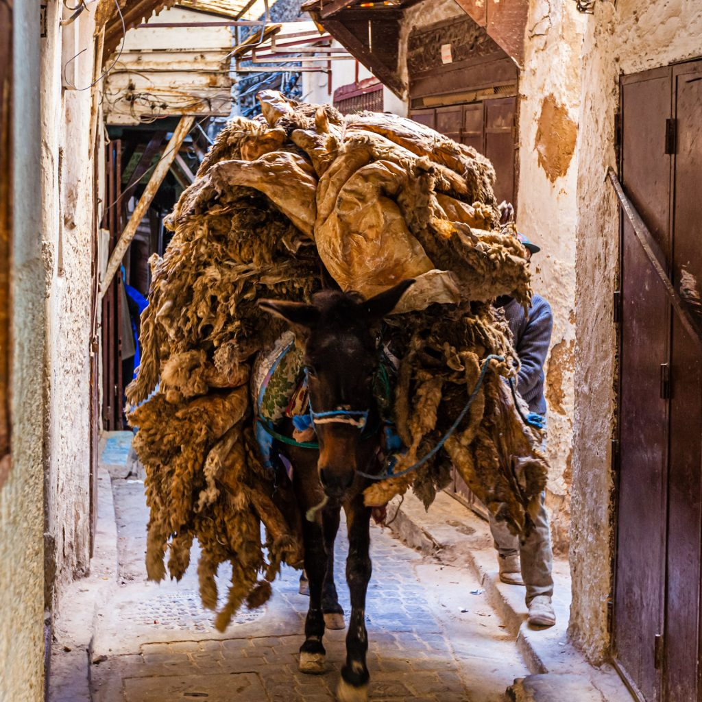 Donkey transporting pelts to leather tannery in Fès, Morocco